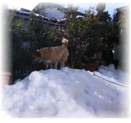 庭に山となった残雪の上で遊ぶハルの写真