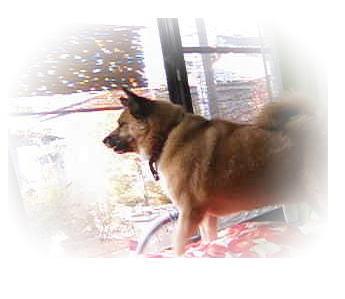 窓から外を見て吠えているハルの写真