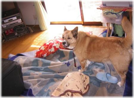 床のカーペットを、自分の敷物や座布団も一緒にクシャクシャに巻き上げていたハルの写真