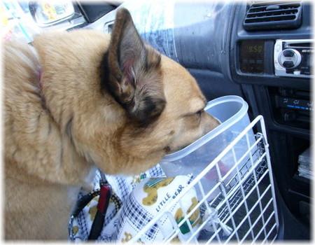 車の中で水飲みのカップの中に顔を突っ込んで、一心に水っを飲むハルの写真