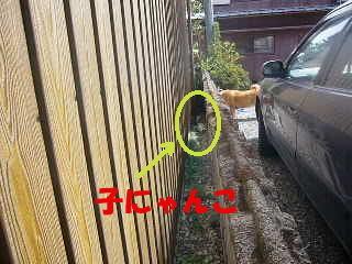 お隣との境の塀の隙間で、子猫を見つけて唸っているハルの写真
