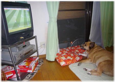 テレビのサッカークロアチア戦を寝転んで観ているハルの写真
