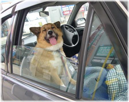 セルフガソリンスタンドで給油中に暑くて車の中でへろへろになっているハルの写真