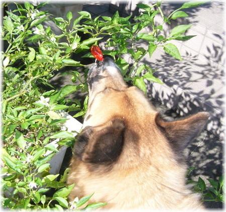 庭のしし唐の枝の赤くなったしし唐に鼻を近づけているハルの写真