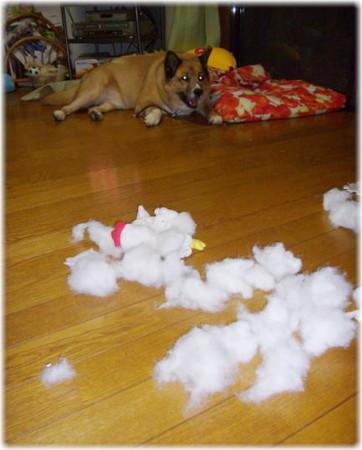 100均で買った鶏のぬいぐるみを綿を出しボロボロにして、離れた所でふてくされているハルの写真