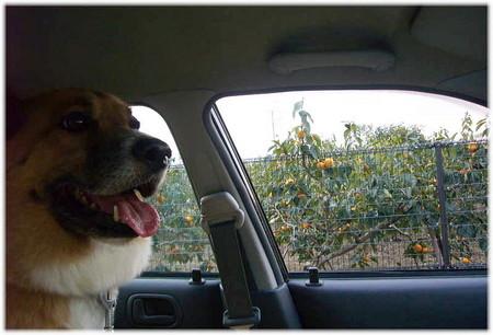 車の車窓に色づいた柿の実が見える写真