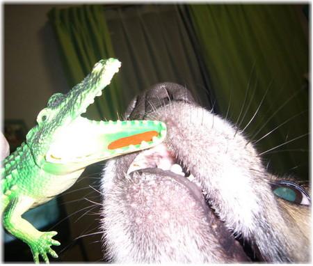 玩具のワニの口の中に入ったミルキーを必死な顔つきで取ろうとしているハルの口元のアップの写真