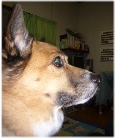 雷の音に耳をピーンと研ぎ立たせて警戒しているハルの写真