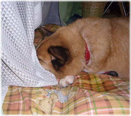 片手は長座布団の下、片手は顎の下、顔はカーテンの向こうというスタイルで寝ているハルの写真