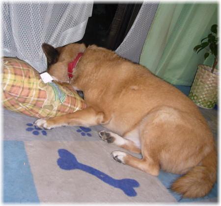 長座布団の上に斜めに寝転んで顔が半分カーテンで隠れているハルの写真