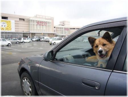 ショッピングモールの駐車場で車から顔を出してご機嫌なハルの写真