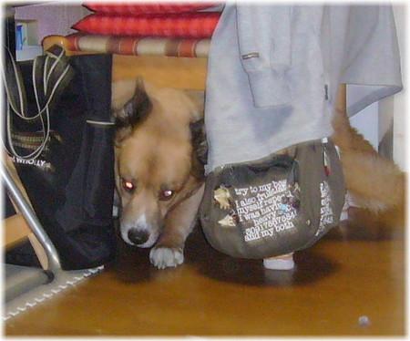 椅子の下に隠れていても恐くてパニックになっているハルの写真