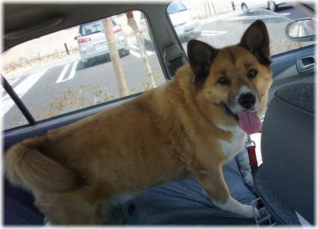 暑くなった車の中で待ってるハルの写真
