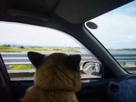 渋滞で動かない車の窓からお座りの姿勢で木曽川を眺めているハルの写真