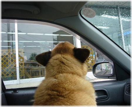車の窓から外の匂いを嗅いでいるハルの写真