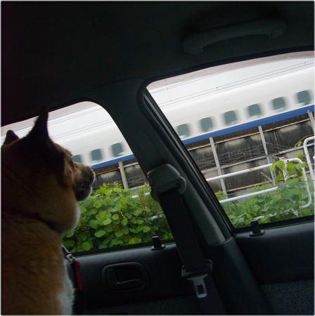 新幹線を車の窓から顔だけ出して見ているハルの写真