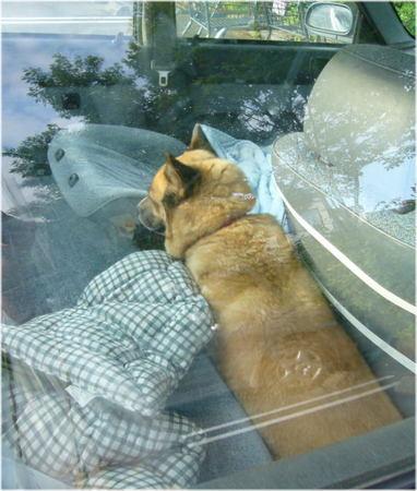 車の後部座席の足マットの上で挟まって寝ているハルの写真