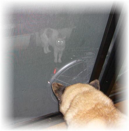 庭先の猫に網戸越しに吠えまくるハルの写真