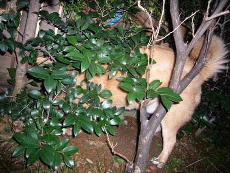 庭の木下に骨ガムを埋めているハルの写真