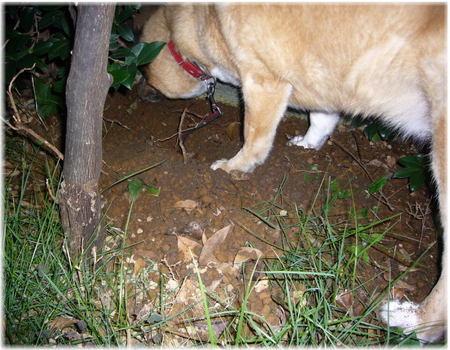 昨日埋めた骨ガムを掘り出しているハルの写真