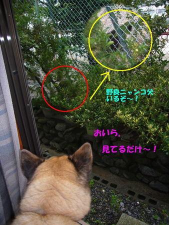 小学校の運動場にいる野良ニャンコを家の中から見ているハルの写真
