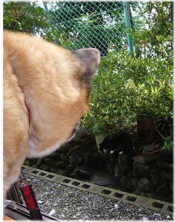 部屋の中から裏の溝を歩く野良ネコを見つけて怒っているハルの写真