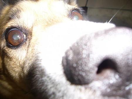 カメラに近づきすぎて鼻先がどあっぷになったハルの写真
