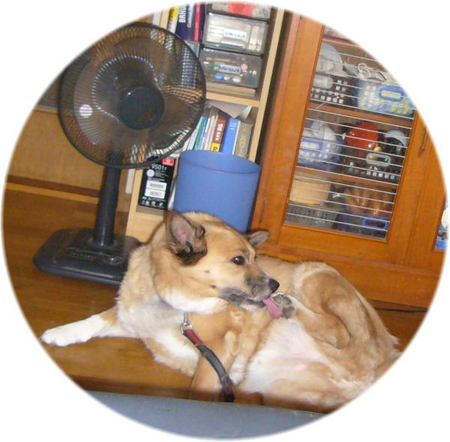 扇風機の前に陣取ってくつろいでいるハルの写真