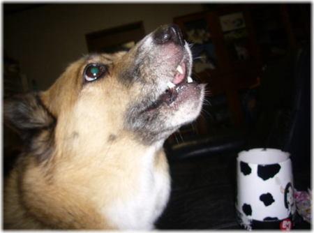 ミルキーを顎を上げながら食べているハルの写真