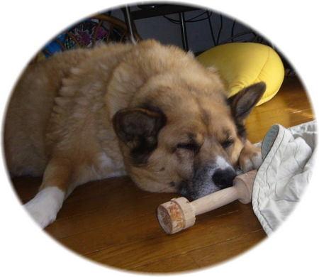 木の玩具を鼻先においたまま寝ているハルの写真