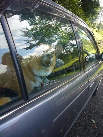 駐車場に戻ってきたかあしゃん達をエアコンの効いた車の中で待ってるハルの写真