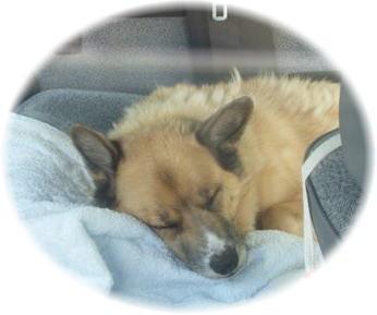 エアコンの効いた車の中で眠ってるハルの写真