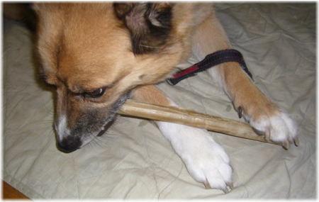 長い骨ガムを両手に挟んで、体を斜めにしながらカジカジしているハル