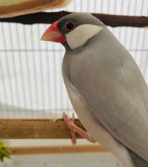 シルバー文鳥 メス