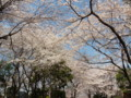 2009, 東京。桜(2)