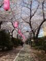 亀戸(サンストリートとなり)の桜