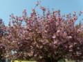 ブリュッセルの八重桜?