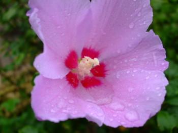 雨に濡れ雫を滴らせるムクゲ