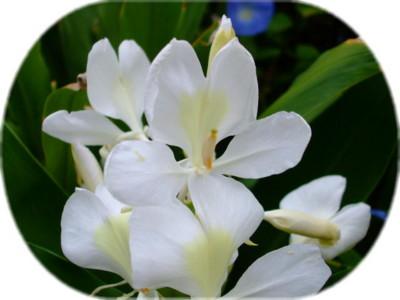 クルクマ (別名 ウコン)清潔感のある芳香を放ちます