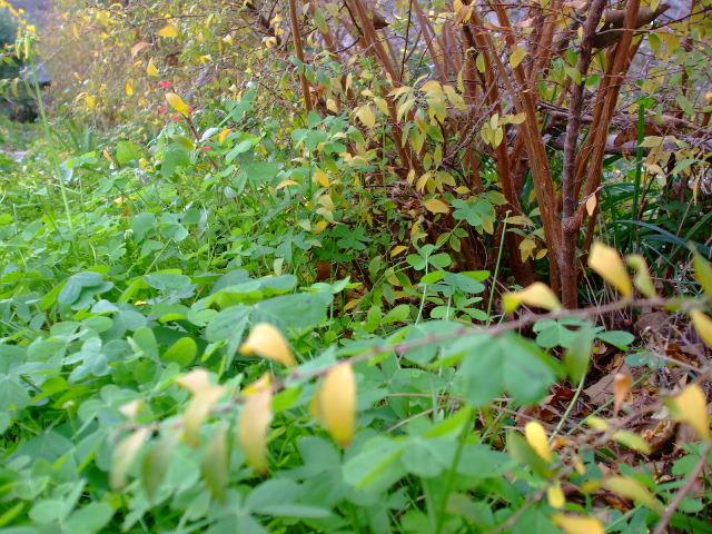 冬枯れの雪柳の目元には艶やかな緑があります
