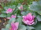 小輪花キャベツ