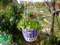 吊鉢のロベリア春を待つ