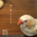 アイドルキンカチョウ「てん(甜♂)」