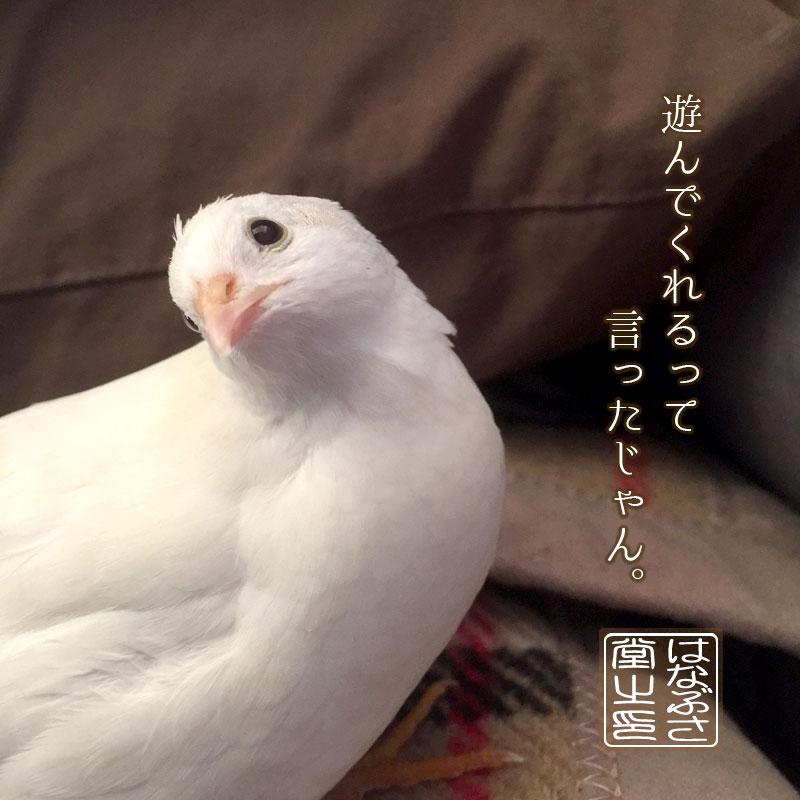 個別「白姫ウズラの「ちよまる(...