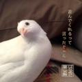 白姫ウズラの「ちよまる(千代丸♀)」