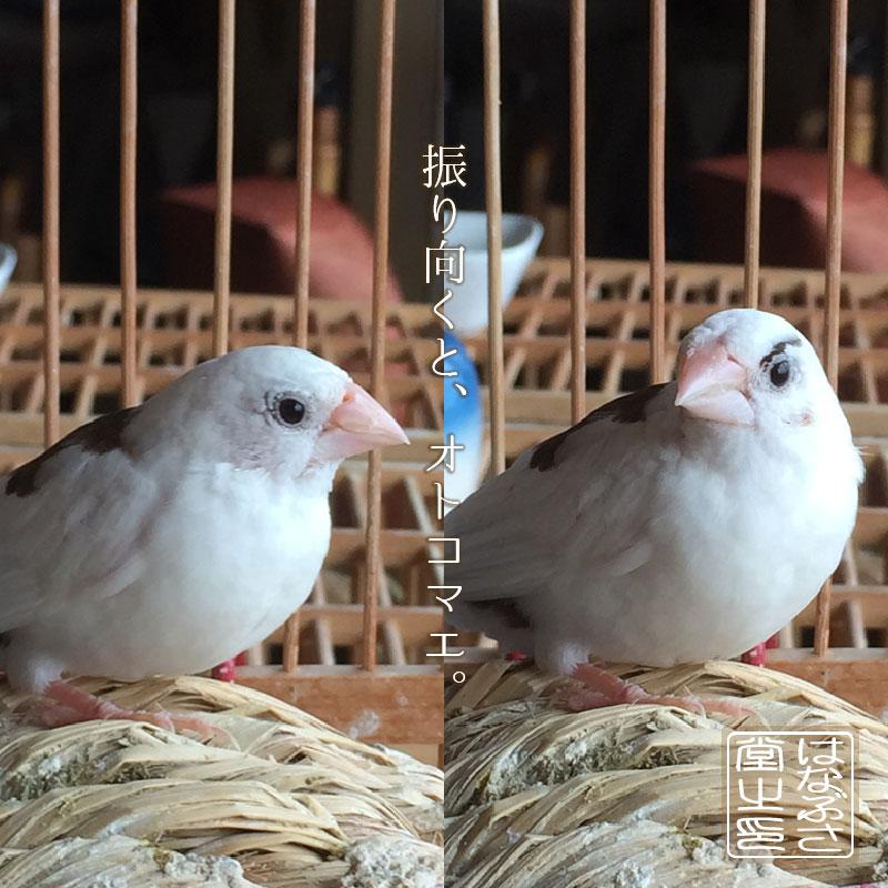 片眉毛の十姉妹「まゆ(眉♂)」