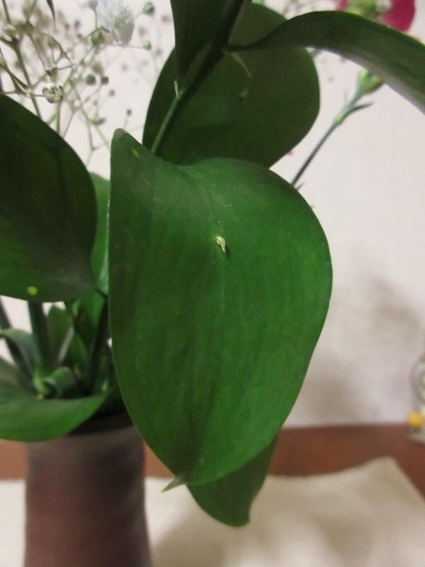 ルスカスの葉