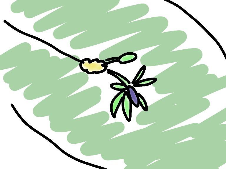 ルスカスの開花予想図