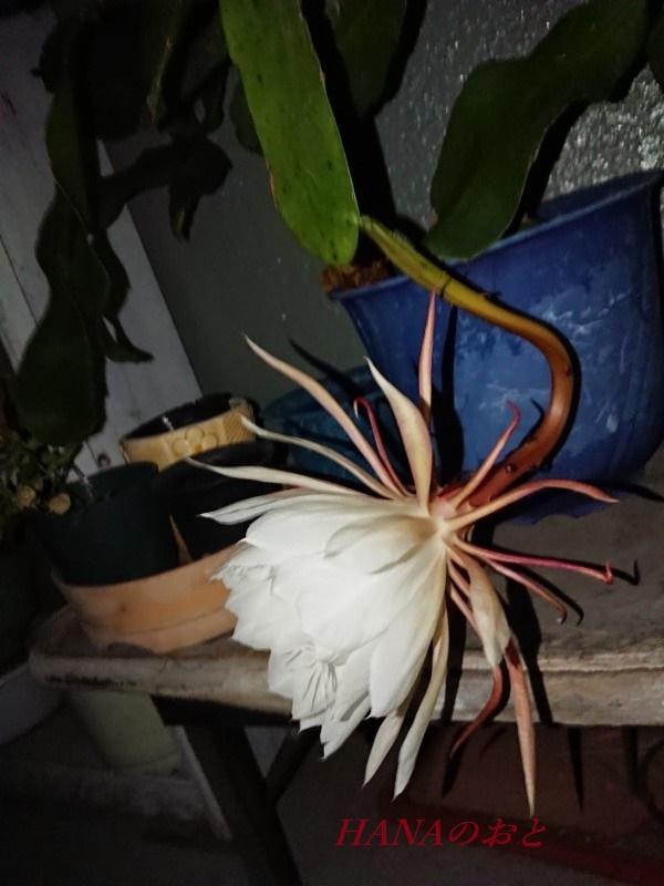 月下美人の花3