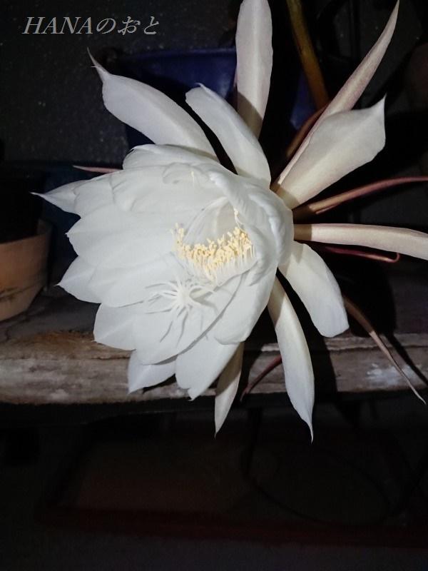 月下美人の花5
